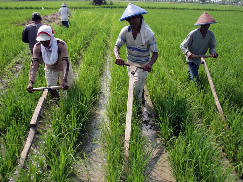 Pembangunan Sektor Pertanian Di Indonesia Saat Ini Ciungtips
