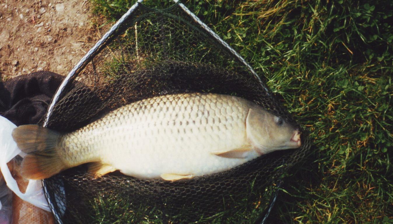 ikan mas