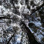 hutan pinus ciamis