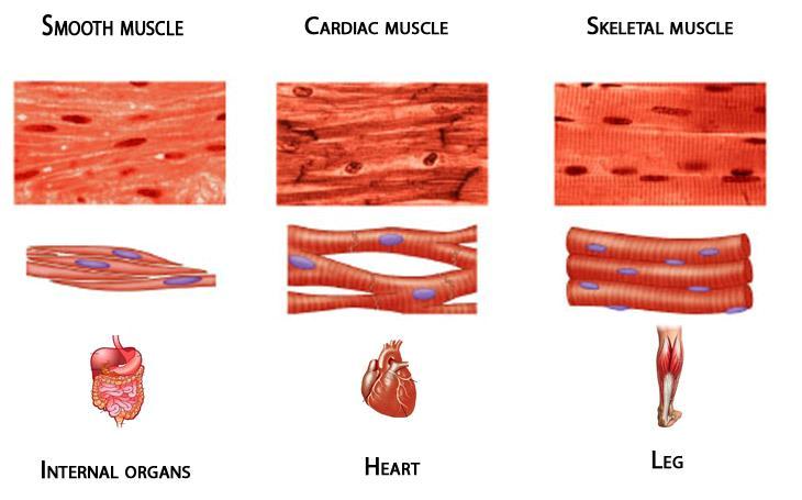 perbedaan otot manusia